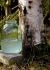 Birch sap properties and benefits