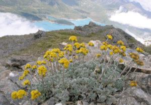 artemisia alpina, genepy