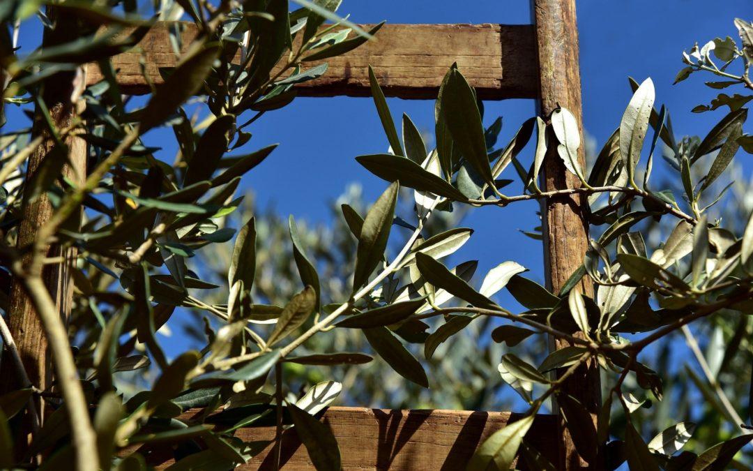 Pulire il sangue con il gemmoderivato di olivo