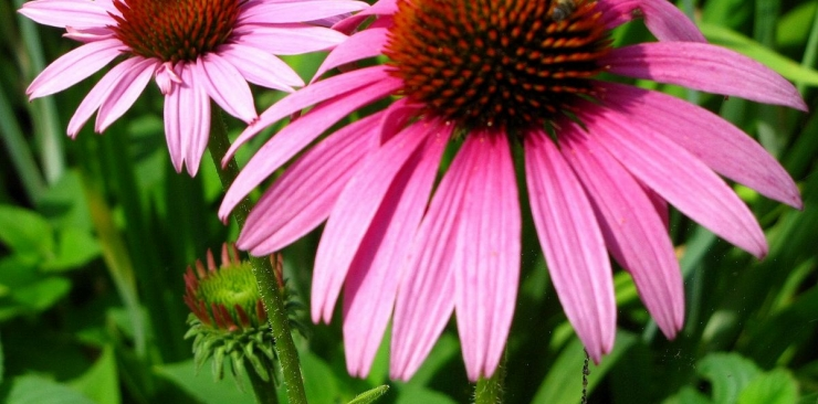 Echinacea benefits in herbal medicine and for skin