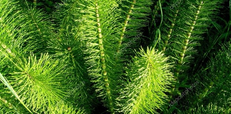 Horsetail benefits properties and uses