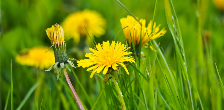 Dandelion mother tincture for liver and skin