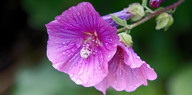 althea plant