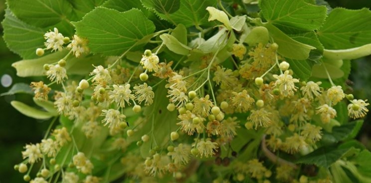A natural sedative: linden bud extract