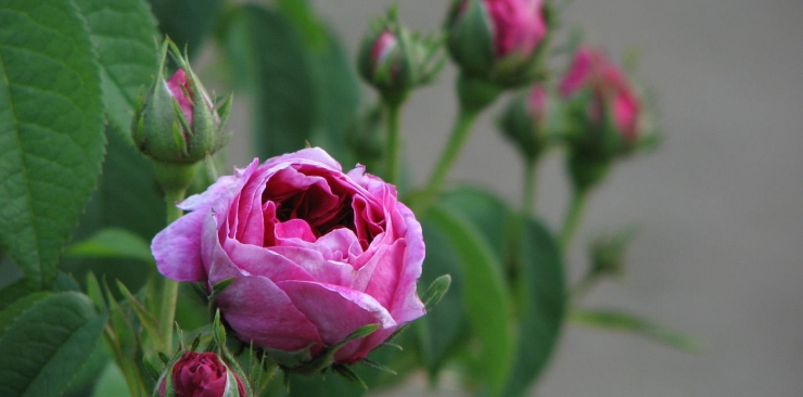 The rose: properties and uses for types of roses