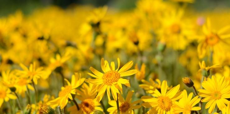 Best natural anti inflammatory: Arnica montana