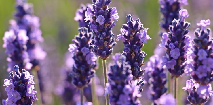 lavender properties