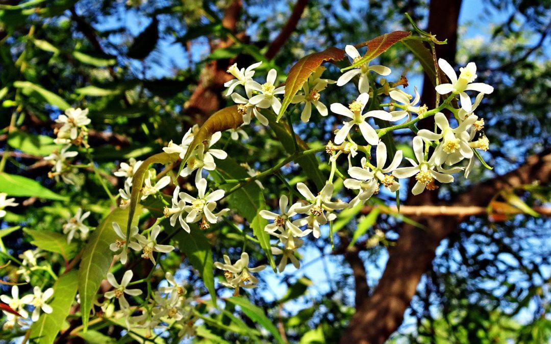 neem benefits